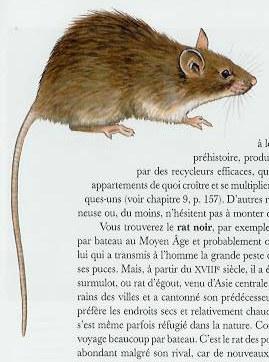rat_noir.jpg