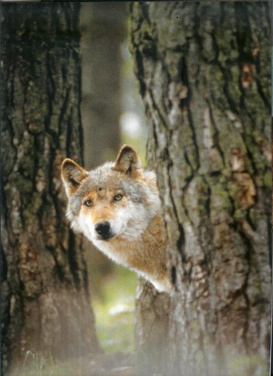 loup-curieux.jpg