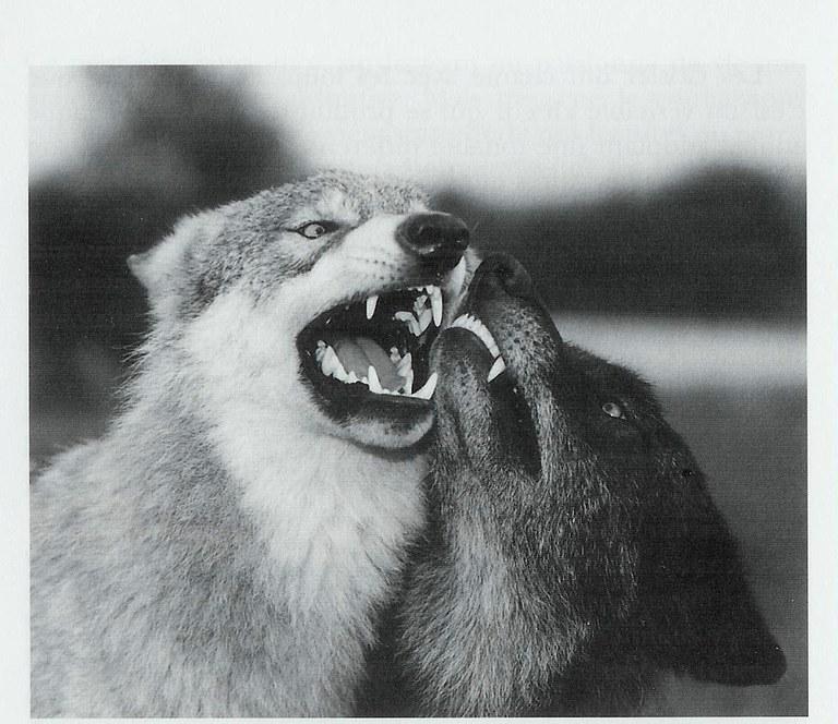 loups-domine-dominant.jpg