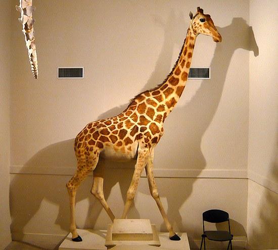 Zarafa (la girafe de Charles X) au musée de La Rochelle