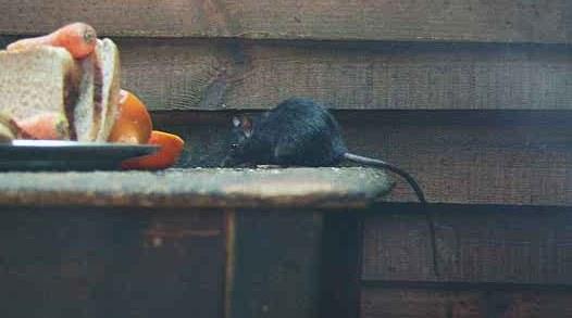 Rattus rattus (rat noir)