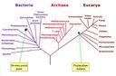 Peste et malaria: Yersinia pestis et psalmodium sur l'arbre phylogénétique de la vie