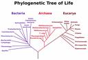 Arbre phylogénétique de la vie